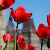 Red tulips in front of the Parliament during Ottawa`s annual Tulip Festival