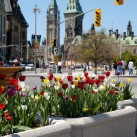 Tulips in downtown Ottawa during the annual Tulip Festival
