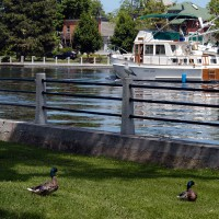 Ducks watching boats go by on the Rideau Canal