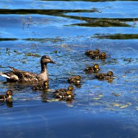 Mallard duck mother with ducklings
