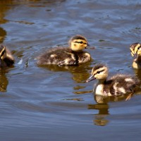 Ducklings swimming on the Rideau Canal