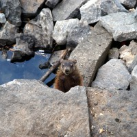 Groundhog peaking up from rocky shore
