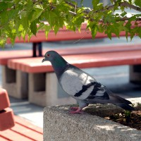 Pigeon in the shade near park benches