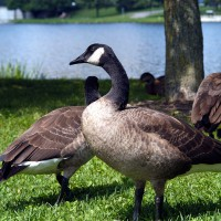 Canadian geese near Rideau River