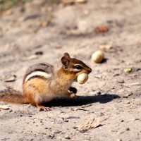 Chipmunk on a sandy trail