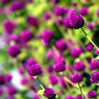 Purple Clover flowers