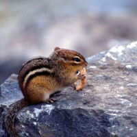 Chipmunk on rock eating bread