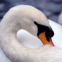 Royal White Swan (Cygnus olor) on the Rideau River