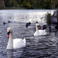 Male and female Royal Mute White Swans (Cygnus olor) on the Rideau River
