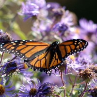 Butterfly on purple flowers