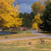 Canadian geese during fall day at Andrew Haydon Park