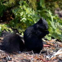 Black squirrel eating