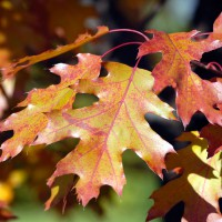 Oak leaves changing color during autumn