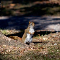 Red squirrel (Sciurus vulgaris leucourus) beside a tree during fall day