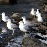 Seagulls on icy Rideau River shore