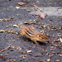 Fast moving chipmunk on fall day