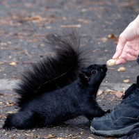 Black squirrel stretching to get a peanut from a woman