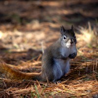 Red squirrel (Sciurus vulgaris leucourus) on pine needles during fall day