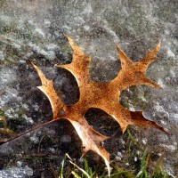 Oak leaf frozen in ice