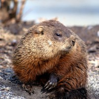 Groundhog out of his hole