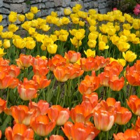 Yellow and orange tulips at Ottawa`s annual Tulip Festival