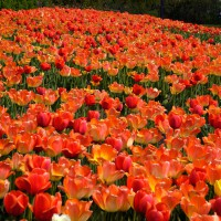Hundred of orange tulips at Ottawa`s annual Tulip Festival