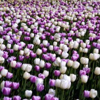 Hundred of white and purple tulips at Ottawa`s annual Tulip Festival