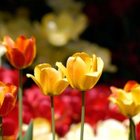 Yellow and red tulips at Ottawa`s annual Tulip Festival