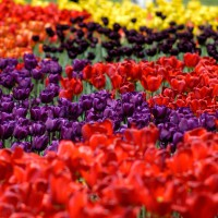 Multi-coloured tulips at Ottawa`s annual Tulip Festival