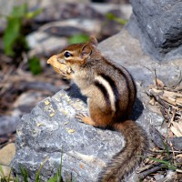 Chipmunk eating a peanut