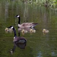 Canadian geese family on water