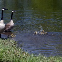 Canadian geese parents watching babies playing on the river