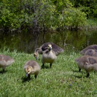 Young Canadian geese
