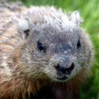 Groundhog close-up