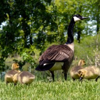 Baby Canada geese with parents