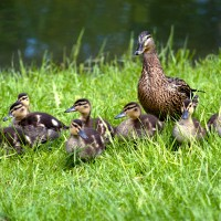 Baby ducks with mother