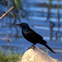 Grackle perched on a rock near water