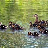 Mallard baby ducks swimming with their mother
