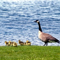 Baby Canada geese with mother