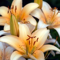 White and orange Asiatic hybrid lilies (Lilium)