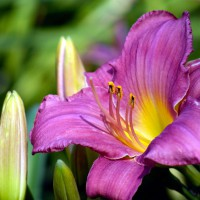 Little Grapette daylily (Lilium)