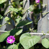 Morning Glory flower with vine climbing wooden fence