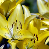 Yellow Asiatic hybrid lilies (Lilium)
