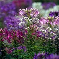 Rocky Mountain Bee Plant (Cleome serrulata)