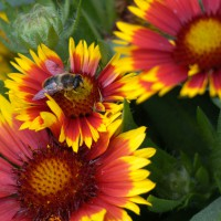Bee on Indian Blanket flower (Gaillardia pulchella)
