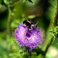 Bee on Purple Thistle (Cirsium Horridulum)