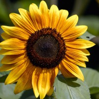 Common Sunflower (Helianthus annus)