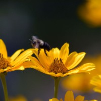 Bee in flight over Crown Daisies (Glebionis coronaria)