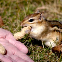 Chipmunk taking a peanut from human hand
