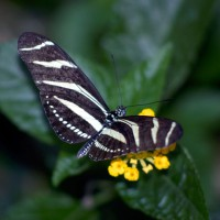 The Zebra Butterfly (Heliconius charitonia)